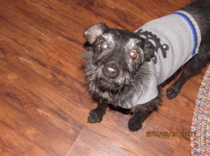 Boomer so proud of his new sweater.