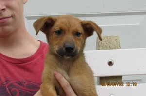 Ruby is a female hound mix. 8 or 10 wks. old.
